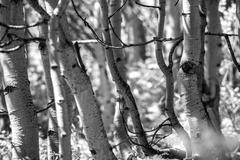 Black and White Aspen Trees Stock Photos