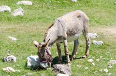 Donkey grazing grass - stock photo
