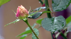 Delicate young wet rose in the wind Stock Footage