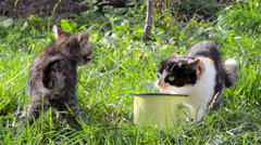 Cat fight for food Stock Footage