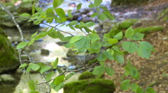 Green beech leaves with river in background Stock Footage