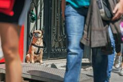 Pug sits and waits for the host on a busy street - stock photo