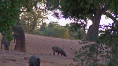 Four black Iberian pigs in the middle of two trees in approximate plan Stock Footage