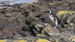 Magellanic penguin from Antarctca Stock Footage