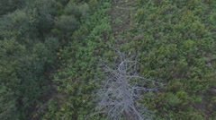 Aerial view of dried pine tree in the forest Stock Footage