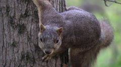 Fox squirrel on tree closeup wildlife animal forest fall Stock Footage