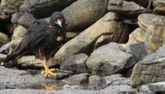 Striated Caracara on the beach Stock Footage