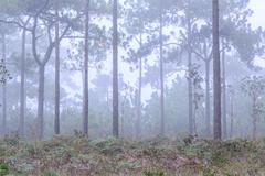Stock Photo of Pine tree with mist on morning.