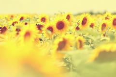 Beautiful field with many sun flowers on a sunny day Stock Photos