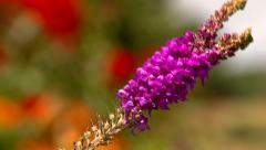 Focus Pull to Swaying Purple Flowers Stock Footage