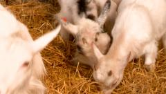 A Group of Goats Eating in a Pen Stock Footage