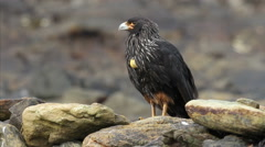Striated Caracara Stock Footage