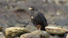 Striated Caracara stand on a rock Stock Footage