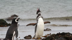 Magellanic penguins on the beach Stock Footage
