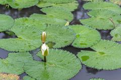 White Lotus waterlily - stock photo
