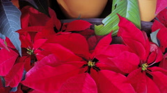 Closeup of red poinsettia at the local garden center. - stock footage