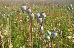 Poppy field with  unripe poppy-heads ripe opium poppy head Stock Photos