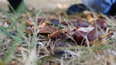 Stock Video Footage of Little kid girl playing in autumn part with chestnut lift it up from a dry grass
