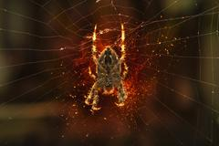 Spider on spider web Stock Photos