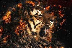 Beautiful Asian tiger - stock photo