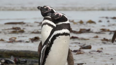 Magellanic penguins on the shore Stock Footage