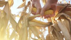 Farmer hand picking corn cob from stalk Stock Footage
