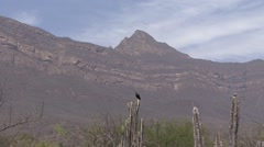 Black Vulture perched on cactus Stock Footage