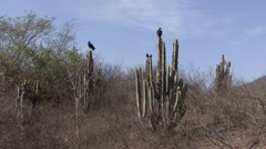 Black Vultures perched on cactus Stock Footage