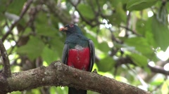 Black-tailed Trogon perched on branch Stock Footage
