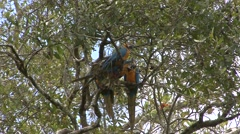Blue-and-yellow Macaw roosting and grooming in tree  Stock Footage