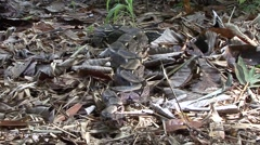 Boa Constrictor moving on forest floor Stock Footage