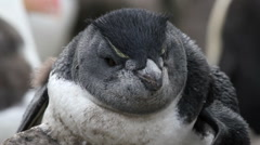 Rockhopper penguin Stock Footage