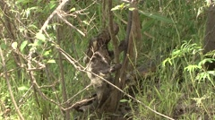 Brown-throated 3-toed Sloth climb tree after swimming filmed from boat 1 Stock Footage