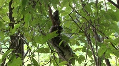 Brown-throated 3-toed Sloth climb tree after swimming filmed from boat  Stock Footage