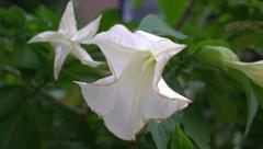 """Datura Metel, """"Angel's Trumpet"""" or """"Devil's Trumpet"""" flowers, racking focus. Stock Footage"""
