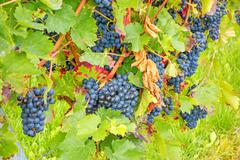 Stock Photo of ripe grapes in vineyard
