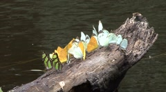Butterflies on log by rainforest river Stock Footage