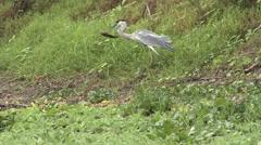 Cocoi Heron feeding on fish Stock Footage