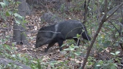 Collared Peccary walk in bush Stock Footage