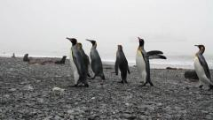 Walking penguins and southern fur seals Stock Footage