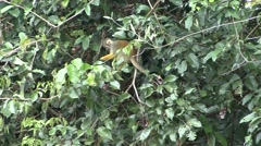 Common Squirrel Monkey feeding filmed from boat  Stock Footage