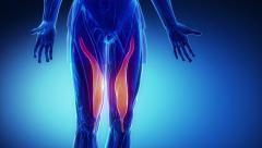 VAstus medialis - muscle anatomy in loop - stock footage