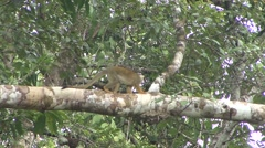 Common Squirrel Monkey move in tree  Stock Footage