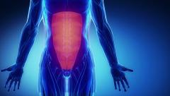 Rectus abdominis - muscle anatomy in loop Stock Footage