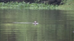 Giant Otter swimming in rainforest river Stock Footage