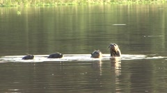 Giant River Otter swimming in rainforest lake - stock footage