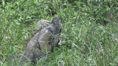 Iguana feeding in grass Stock Footage