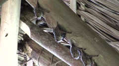 Stock Video Footage of Long-nosed Bats roosting under roof with baby on stomach 1