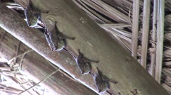 Long-nosed Bats roosting under roof 2 Stock Footage
