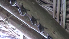 Long-nosed Bats roosting under roof 1 Stock Footage